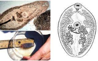 Mô tả của trematodes