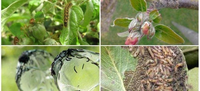 Làm thế nào để loại bỏ sâu bướm trên cây táo