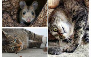 Mèo và mèo có ăn chuột không?