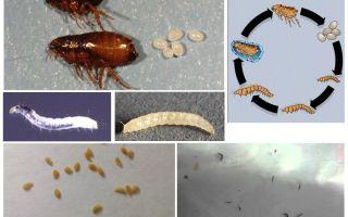 Bộ đồ giường bọ chét và làm thế nào để loại bỏ chúng ở nhà