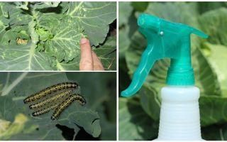 Làm thế nào để thoát khỏi bướm và bắp cải sâu bướm