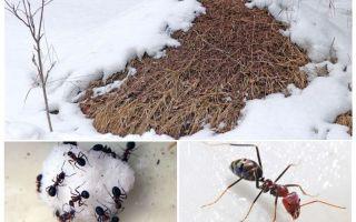 Kiến làm gì vào mùa đông