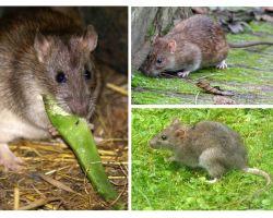 Chuột trông như thế nào