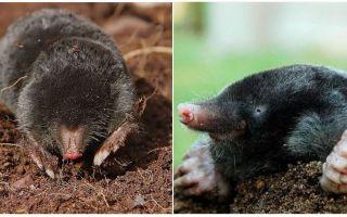 Mole có mắt không
