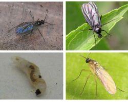 Làm thế nào để thoát khỏi những con ruồi đen trong nhà máy trong nhà và chậu hoa