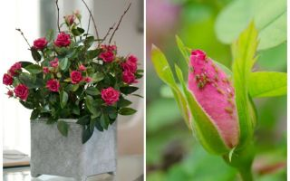 Rệp trên hoa hồng - làm thế nào để xử lý và làm thế nào để thoát khỏi