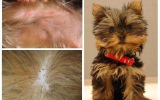 Làm thế nào để loại bỏ bọ chét từ Yorkshire terrier