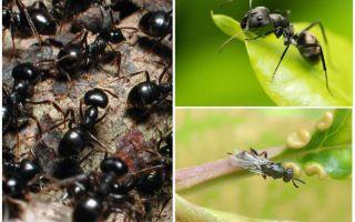 Các loại kiến ở Nga và trên thế giới