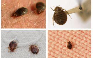 Cho dù bọ sống trong gối và chăn