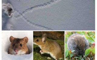 Dấu vết của chuột trong tuyết