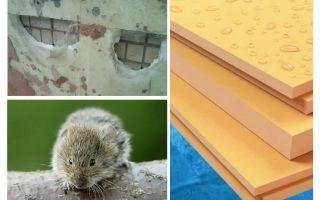 Những con chuột ăn bọt polystyrene ép đùn
