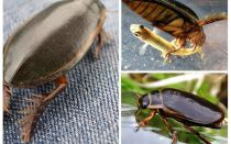 Beetle bọ cánh cứng