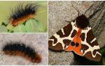 Mô tả và hình ảnh sâu bướm gáo Kaya