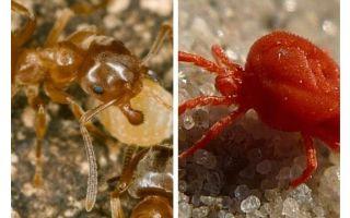 Kiến chống bọ ve