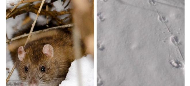 Đường mòn chuột trông như thế nào trong tuyết
