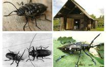 Beetle woodcutter ảnh và mô tả