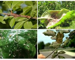 Làm thế nào để loại bỏ rầy mềm trên cây