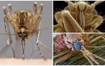 Muỗi trong một cái nhìn lớn hơn