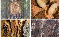 Làm thế nào để đối phó với bọ cánh cứng trong một ngôi nhà bằng gỗ