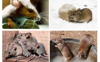 Sự thật thú vị về chuột