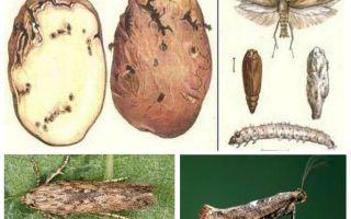 Potato moth - biện pháp kiểm soát lưu trữ