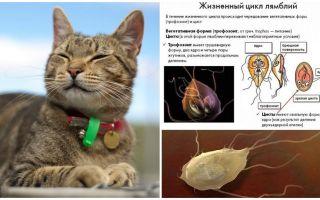 Các triệu chứng và điều trị Giardia ở mèo
