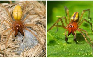Mô tả và hình ảnh của con nhện Sak (Heiracantium)