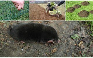 Làm thế nào để xua đuổi nốt ruồi khỏi nhà vườn hoặc vườn
