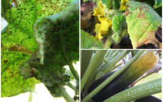 Làm thế nào để thoát khỏi rệp vừng trên zucchini