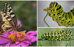 Mô tả và hình ảnh của con sâu bướm của bướm Machaon