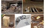 Làm thế nào để loại bỏ chuột khỏi các biện pháp khắc phục dân gian tầng hầm