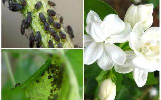 Làm thế nào để loại bỏ rầy mềm trên hoa nhài