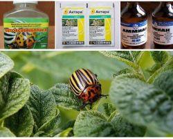 Làm thế nào để loại bỏ vĩnh viễn bọ khoai tây Colorado trên khoai tây và cách đầu độc