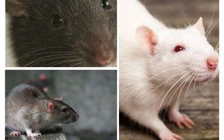 Tầm nhìn chuột