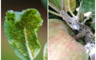 Làm thế nào để thoát khỏi rệp trên cây táo