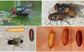 Làm thế nào ruồi xuất hiện