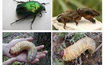 Sự khác biệt giữa ấu trùng của gấu và bọ cánh cứng có thể là gì