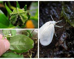 Làm thế nào để loại bỏ các con ruồi trắng trên hoa trong nhà