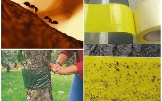 Làm thế nào để đối phó với kiến trong cây trong vườn