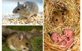 Tuổi thọ của chuột