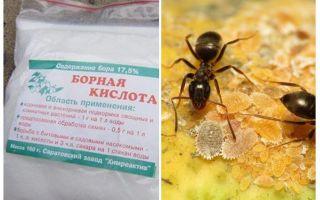 Axit boric chống kiến trong căn hộ và vườn