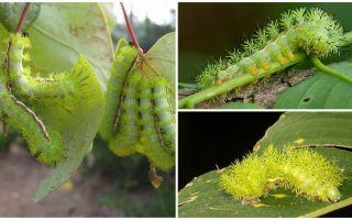 Mô tả và hình ảnh của sâu bướm độc hại nguy hiểm