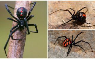 Giống nhện hình ảnh với tên và mô tả