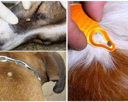 Đánh dấu cắn vào một con chó - triệu chứng, hiệu ứng và điều trị tại nhà