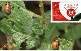 Làm thế nào để lai tạo Apaches từ bọ khoai tây Colorado