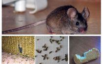 Làm thế nào để đối phó với những con chuột trong căn hộ