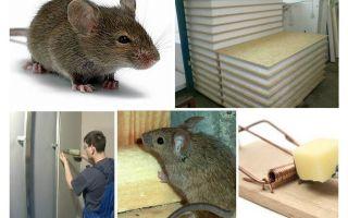 Những con chuột gặm kền kền kền