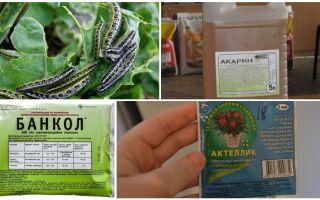 Làm thế nào để thoát khỏi sâu bướm trên các biện pháp khắc phục dân gian bắp cải