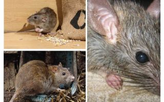 Chuột có thể tấn công con người