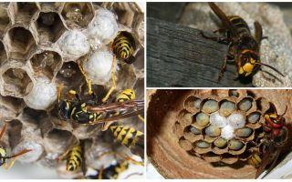 Làm thế nào để loại bỏ tổ của hornet